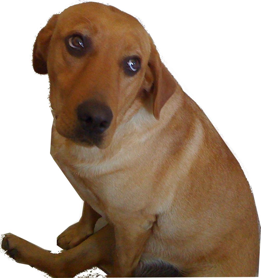 dieta per cane labrador di 8 anni